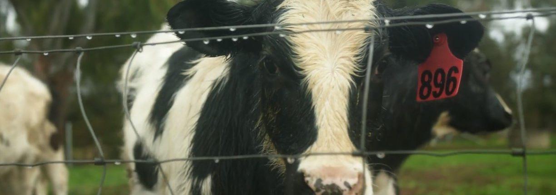 A calf behind a fence