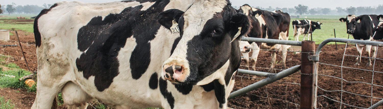 Riverina Fresh cows
